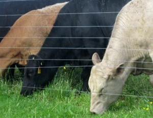 cows-eating-grass-slider